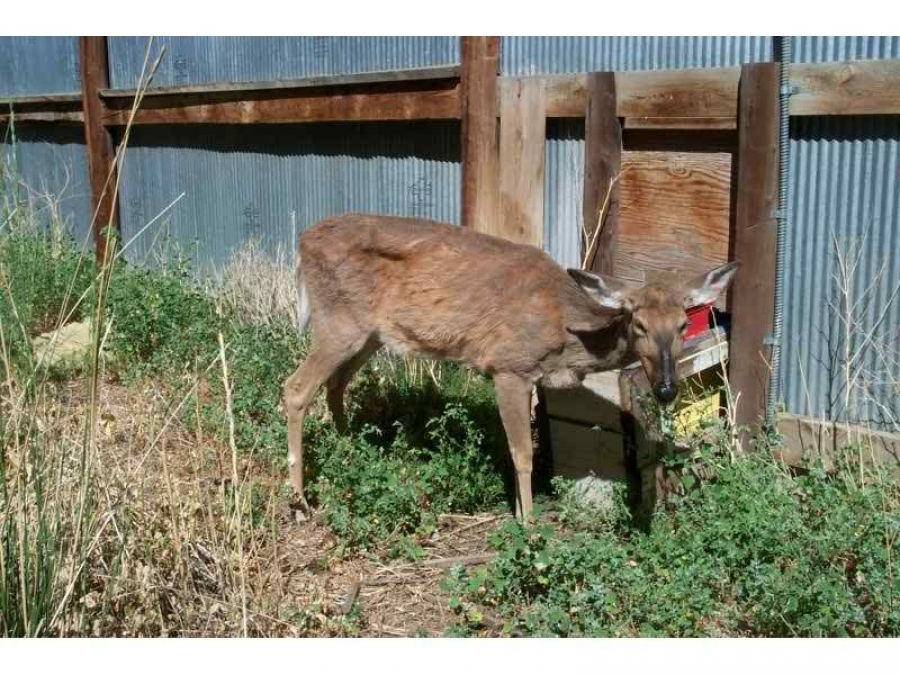 Study shows monkeys contracted CWD from infected deer meat, shows possibility to humans