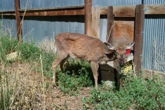 Deer Chronic Wasting