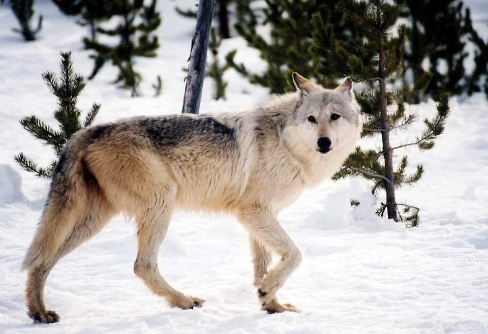 Minnesota governor backs legislation prohibiting sport hunting of wolves