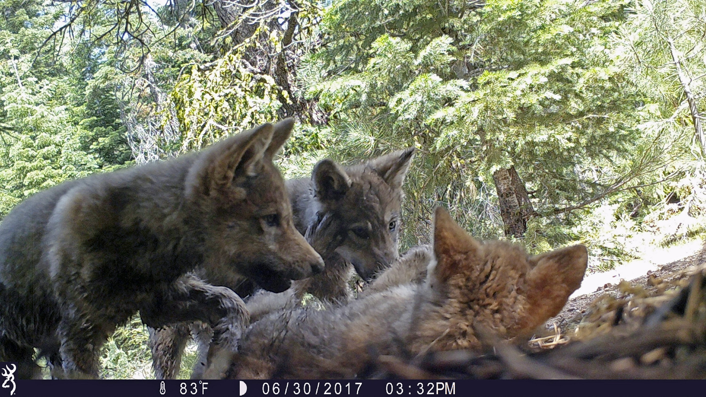 Wisconsin DNR taking public comment on wolf hunt, wolf management of once endangered species