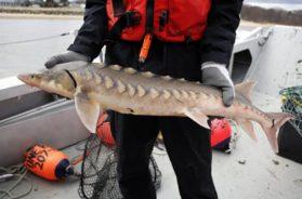 Sturgeon fish AP